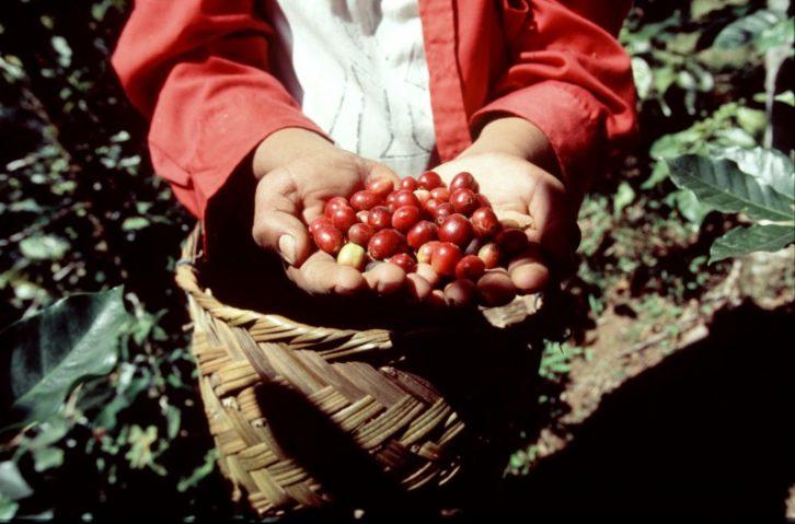 granos-cafe-nicaragua