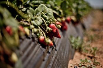 fresas-marruecos