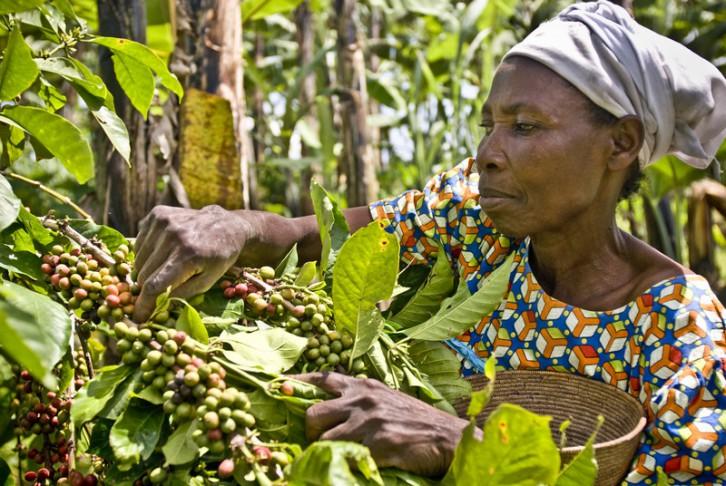 © Pablo Tosco/ Oxfam Intermón (Violet Byamigisha recogiendo granos de café arábica)