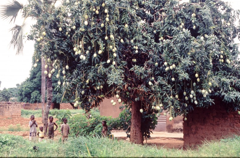 © Héctor Mediavilla/ Oxfam Intermón Vista general de un árbol del mango. Bereadougou.