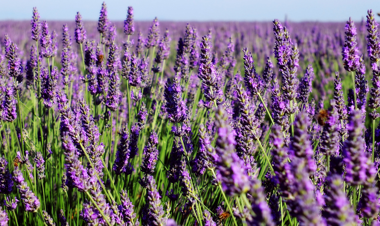 Blooming lavender in French Provence (Valensole)