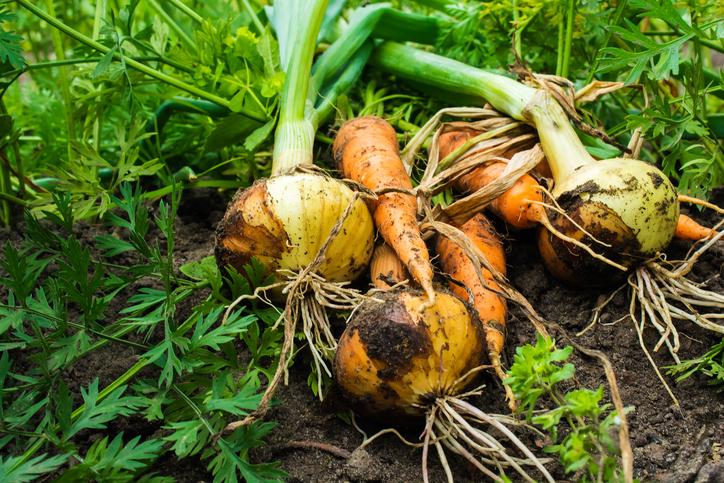 plantas-de-huerto-zanahorias-cebollas