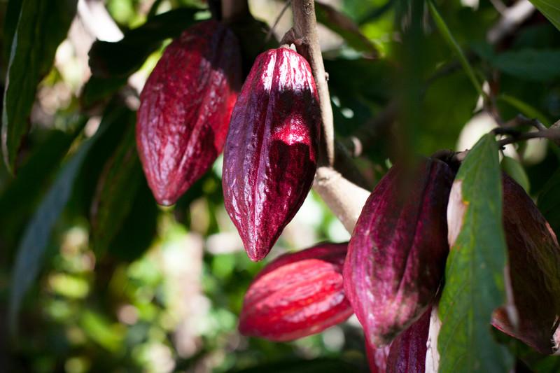 """cultivo-cacao-ecologico"""